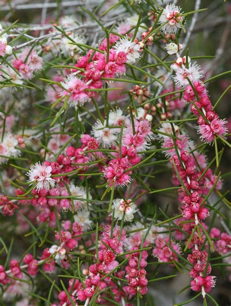 The Gallery For > Australian Plants Names