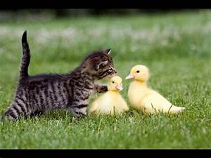 Funny Kitten and Duckling (I'm not your mom go away) - YouTube
