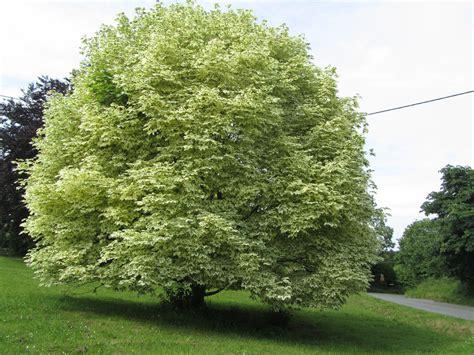 varigated maple tree groundwrx maple variegated norway