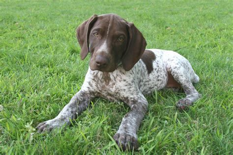german shorthaired pointers are also callled gsp s