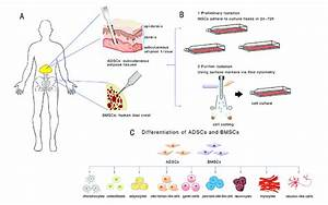 Overview Of Isolation Method And Differentiation Of Adscs