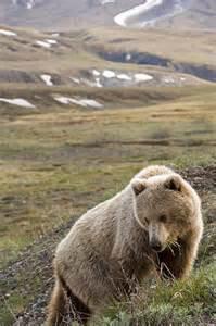 Brown Bear Denali National Park