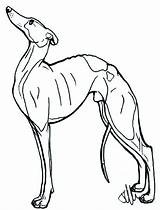 Greyhound Whippet Italian Drawing Dog Lineart Template Lurcher Deviantart Coloring Pages Sketch Drawings Anime sketch template