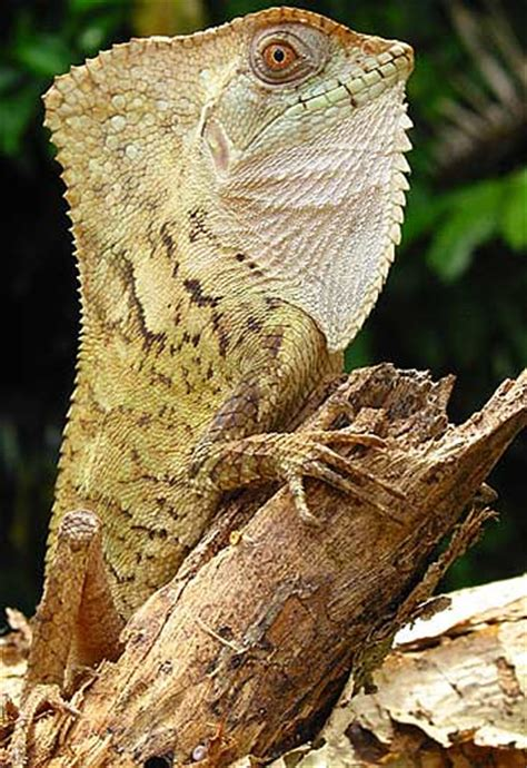 types  lizards animal pictures  facts factzoocom