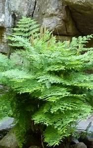 Farn Im Garten : k nigsfarn im garten gibt man dem farn einen halbschattigen bis sonnigen platz das garten ~ Orissabook.com Haus und Dekorationen