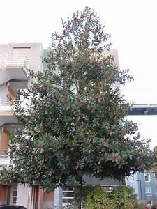Pot Pour Arbre : arbre en pot pour terrasse 15 le houx larbre de no235l ~ Dallasstarsshop.com Idées de Décoration