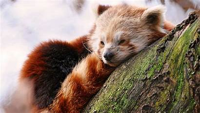 Panda 4k Uhd Animals Pixelz Title Resolution