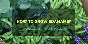 Want to Know How to Grow Edamame? It's Absolutely Easy ...