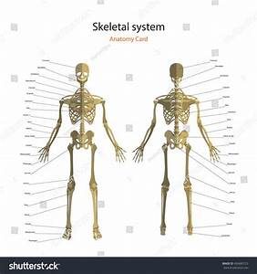 Anatomy Guide Human Skeleton Explanations Anatomy Stock