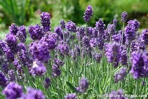 Pflege Von Lavendel : lavendel pflege pflanzen d ngen schnitt ~ Lizthompson.info Haus und Dekorationen