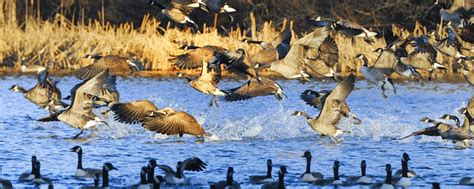 migratory game bird hunting regulations massgov