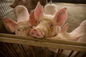 Millions Of Small Pig Farmers In Asia Threatened By Swine