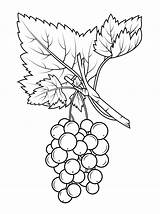 Coloring Pages Grapes Gooseberry Fruits Drawing Fruit Printable sketch template