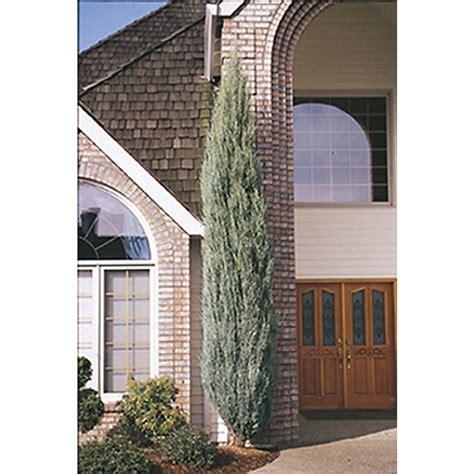 shop monrovia  gallon flowers blue arrow juniper