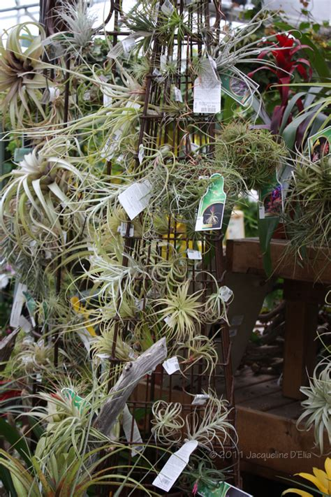air growing plants tillandsia creative ideas and tips for growing air plants