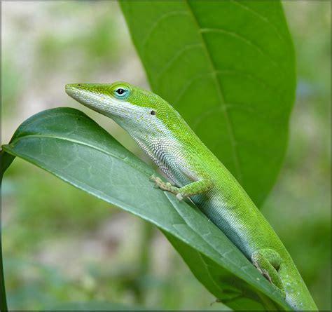 green anole anolis carolinensis green anole american chameleon