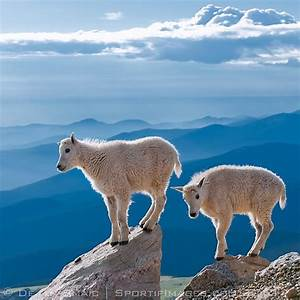 17 Best images about Animals--Land--Mountain Goats & Sheep ...