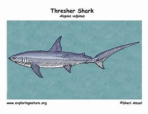 Shark  Thresher