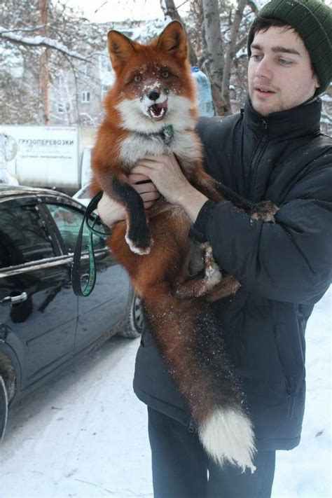 how cute pet foxes steal your heart a research in russia spent the last 20 30 years foxes to remove the genes
