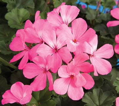 geranium interspecific pelargonium interspecific caliente