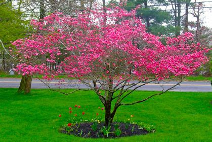 pink dogwood tree care 25 b 228 sta id 233 erna om dogwood trees p 229 pinterest