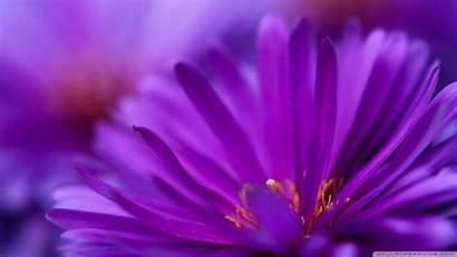 Purple Flower Petals Flowers Wallpapers Wallpoper Backgrounds