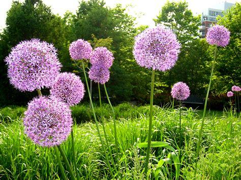 pictures of alliums allium flower cositas bonitas pinterest