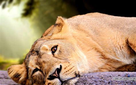 lion wallpaper  laptop    wallpapers