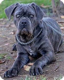poway ca neapolitan mastiff meet marty  pet  adoption