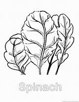 Spinach Coloring Pages Vegetable Sketch Template Designlooter Drawings 930px 28kb Searches Recent Zoom sketch template