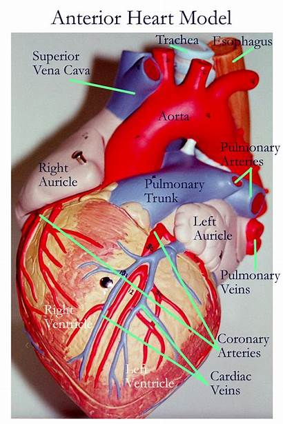 Heart Anterior Vessels Cardiovascular Labeled Coronary Vessel