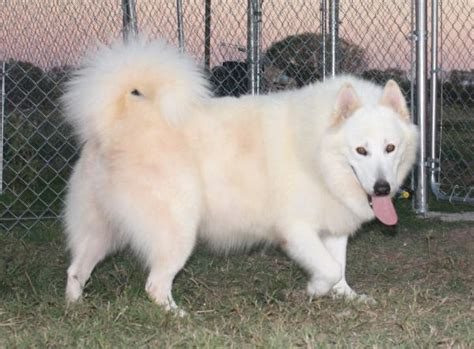 avalanche-white alaskan malamutes-malamute puppies for ...