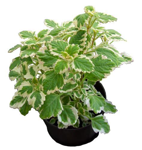 mittel gegen stechmücken pflanzen gegen stechm 252 cken pflanzen gegen stechm 252 cken weihrauch pflanze pflanzen und m 252 cken