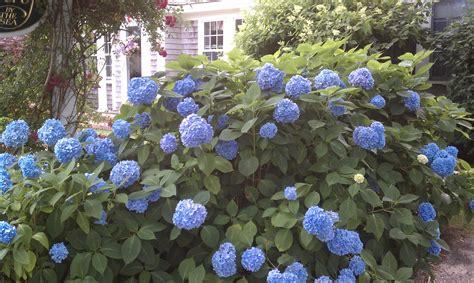 Hydrangeas  Nature's Gift To Cape Cod  City Garden Ideas