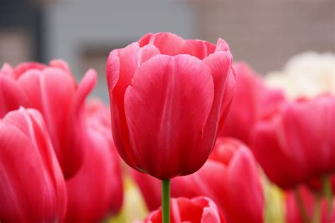 are tulips poisonous to cats common plants poisonous to pets redbarn pet products
