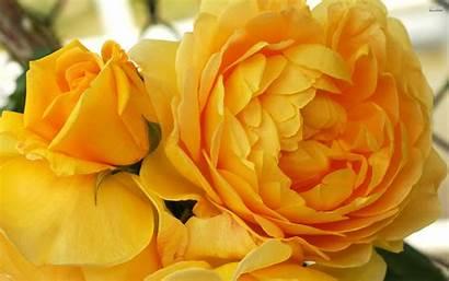 Yellow Roses Wallpapers Rose Flowers Flower Desktop