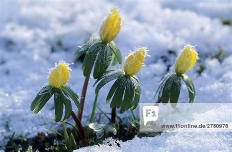 im winter blühende blumen nahaufnahme der winter aconite winterling blumen bl 252 hen im schnee schleswig holstein