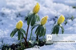 Blumen Im Winter : nahaufnahme der winter aconite winterling blumen bl hen im schnee schleswig holstein ~ Eleganceandgraceweddings.com Haus und Dekorationen