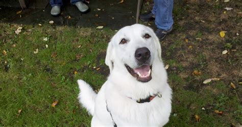 Zen Dog Training Blog Juliet The Great Pyrenees Lab Mix