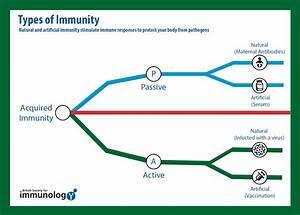 Herd Immunity And Types Of Immunity British Society For