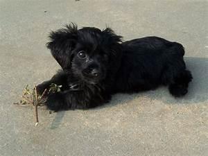 black-yorkie-poo puppy dog....cute!!! | Animals ...