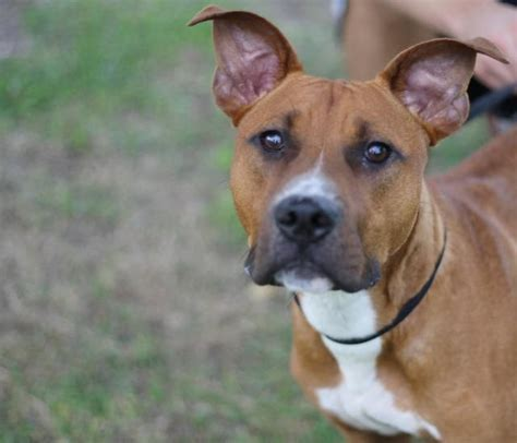 urgent   listed thor pit bull terrier