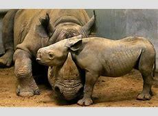 Rhinoceros – Tejanimals