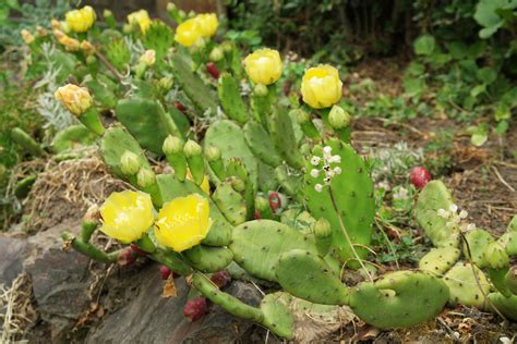 orchids care opuntia humifusa