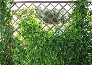 Sichtschutz Pflanzen Winterhart : spalierpflanzen welche sind wirklich geeignet garten pinterest garten pflanzen und spalier ~ Frokenaadalensverden.com Haus und Dekorationen