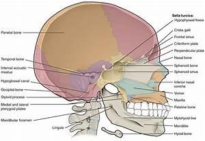 Parts Of The Skull Anatomy - Human Anatomy Diagram