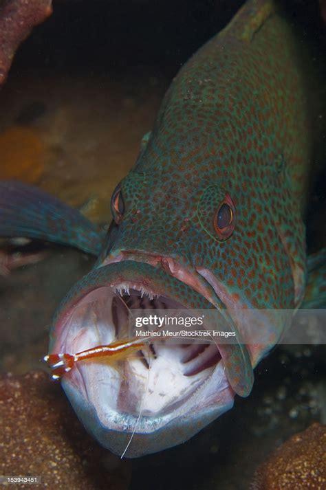 grouper spotted orange shrimp bali cleaner indonesia