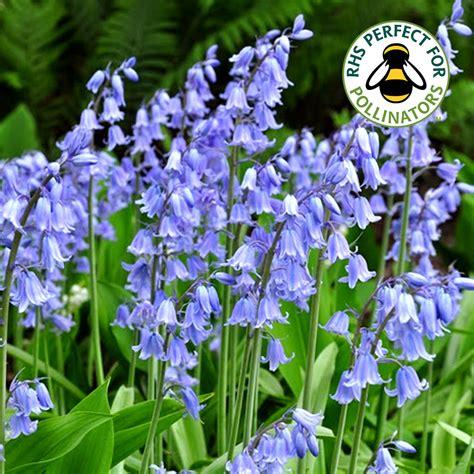 hyacinthoides non scripta true bluebells