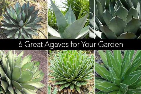 how to care for agave plant agave plants growing care and use in the landscape and indoors