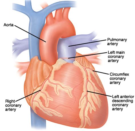 Learn what the difference is between arteries, veins, and capillaries by reading the franklin institute's learning resources about the human heart. How Your Heart Works   Health Resources   Wellness Library ...